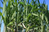Terravesta: £68/t offered for dry miscanthus