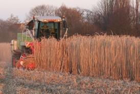 Terravesta: Autumn farm walks planned to showcase miscanthus
