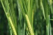 Syngenta: Two new spring barley varieties for 2013