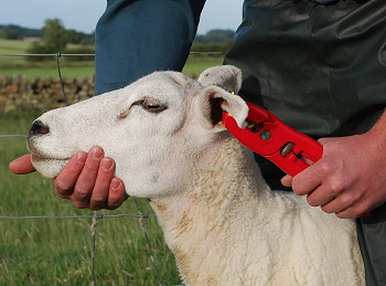 Cox Agri: QWIKtag sheep tags re-engineered and relaunched