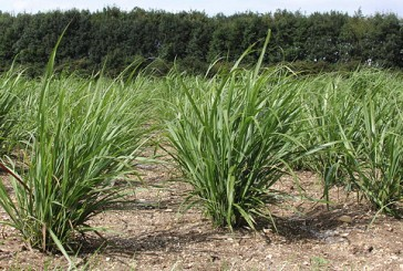 Terravesta: Miscanthus specialist slashes establishment costs with new planting package