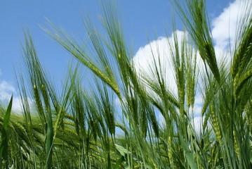 Syngenta: New hybrid barleys set to further improve the crop's high yield