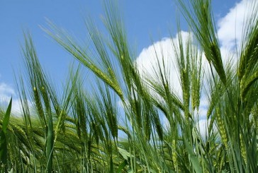 Syngenta: New hybrid barleys set to further improve the crop's high yield