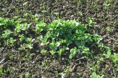 Dow AgroSciences: Take back control of volunteer beans