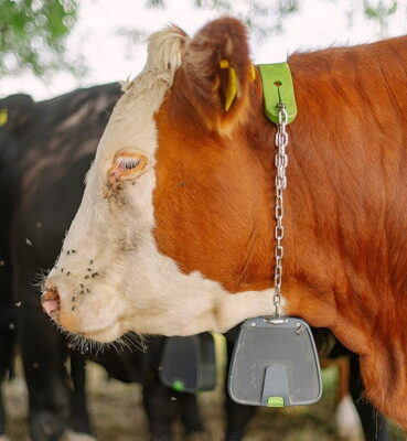 Nofence cattle collars weigh 1.4kg and have integrated solar panels to ensure long-lasting battery life throughout the grazing season